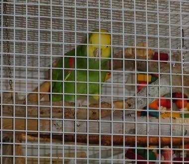 Amazonas-Papageien